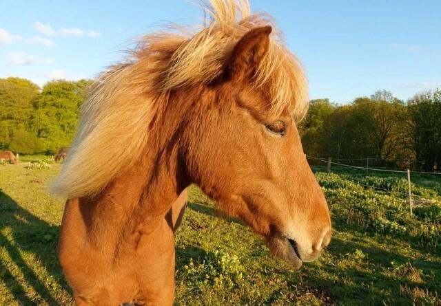 Advarsel: Flere heste døde af ahorn