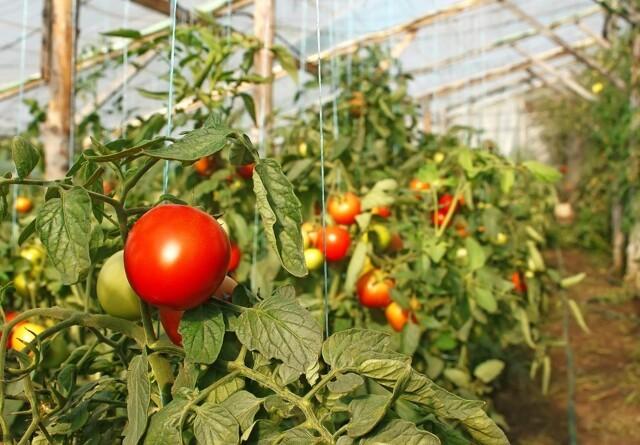 Pas på den nye tomatvirus