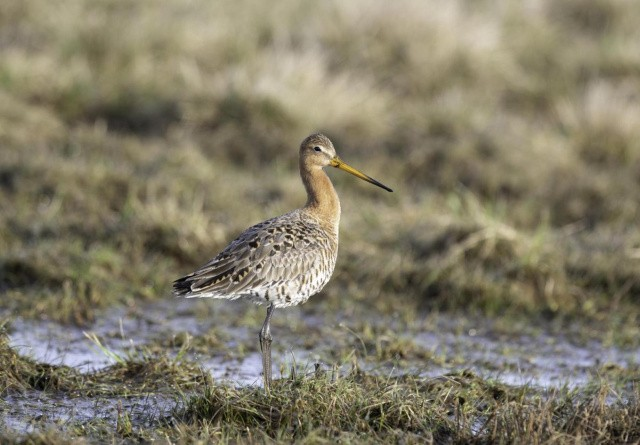 Sjældne fugle i fremgang i Sønderjylland
