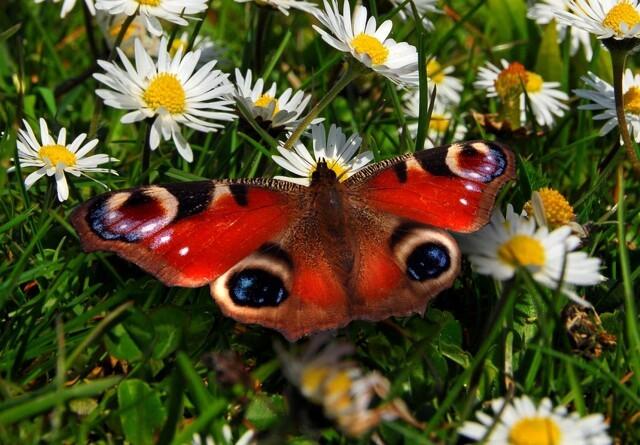 Danske data viser kollaps for sommerfugle