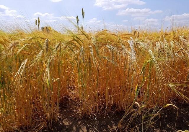 Ustabilt vejr giver modvind til landbruget