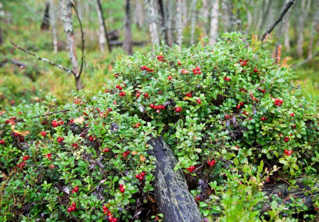 Tyttebærweekend: Her åbner skovene for bilkørsel