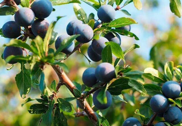 Guide til efterårets bær og frugter