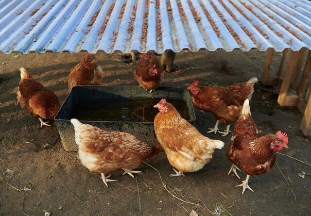 Fugleinfluenza sender høns under tag