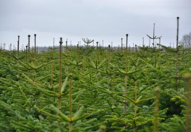 Juletræer kan give grøn varme til over 3500 boliger