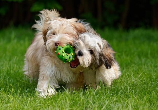 Den hotteste hunderace i 2020