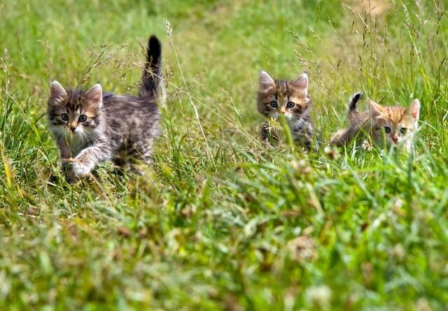 Advarsel: Din kat kommer snart i løbetid