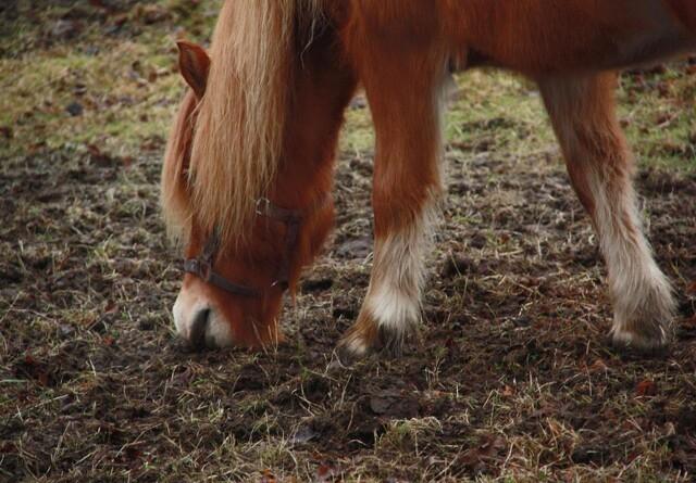 Vær vaks på sandophobning i hestens tarm