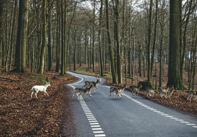 Lige nu dør tusindvis af hjorte