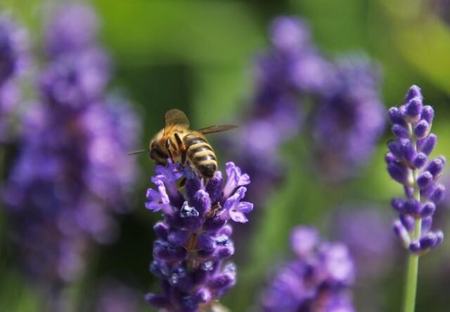 Hjælp insekterne - gør haven til et grønnere sted