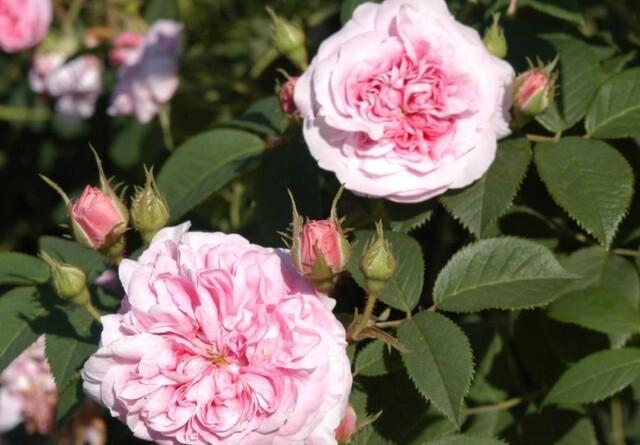 Historiske roser med hyben