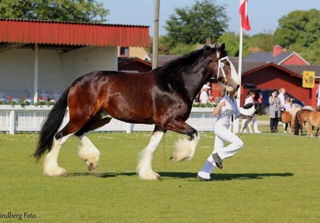 Over to meter høj: Danmarks største hest kommer til Ribe Dyrskue