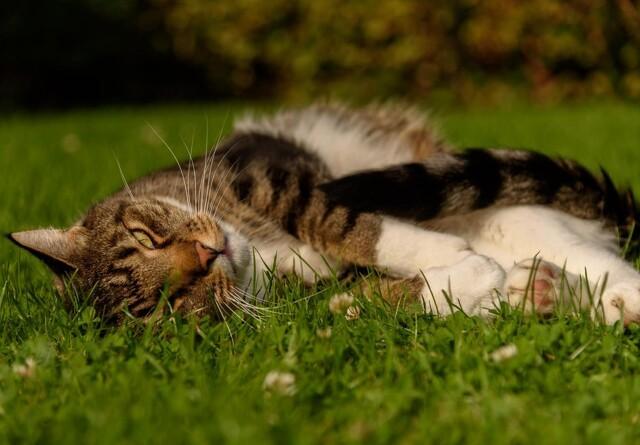 Loppeallergi hos katte