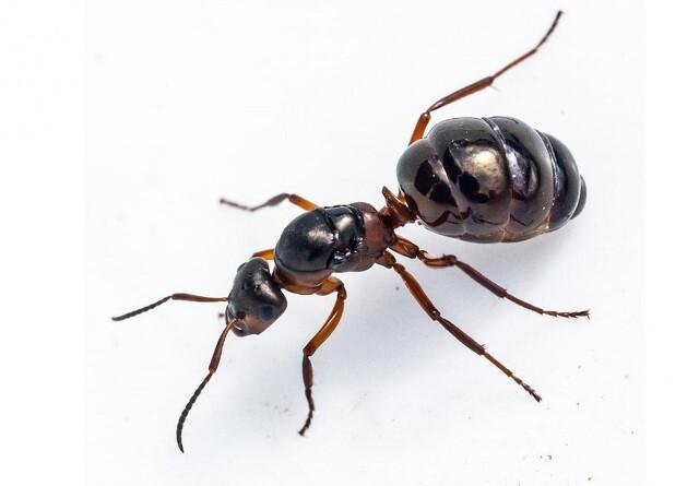 Myrer kan erstatte plantegift