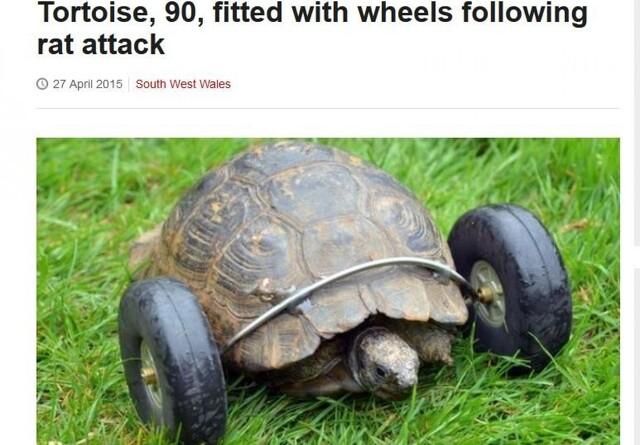 Skildpadde får hjul efter rotteangreb