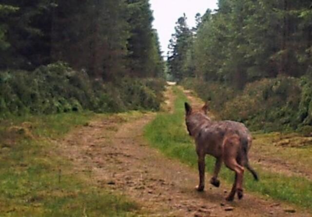 Ulv indgår nu i skovplanen