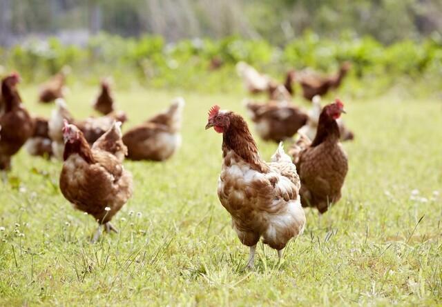 Øko-høns håber på Påske under åben himmel
