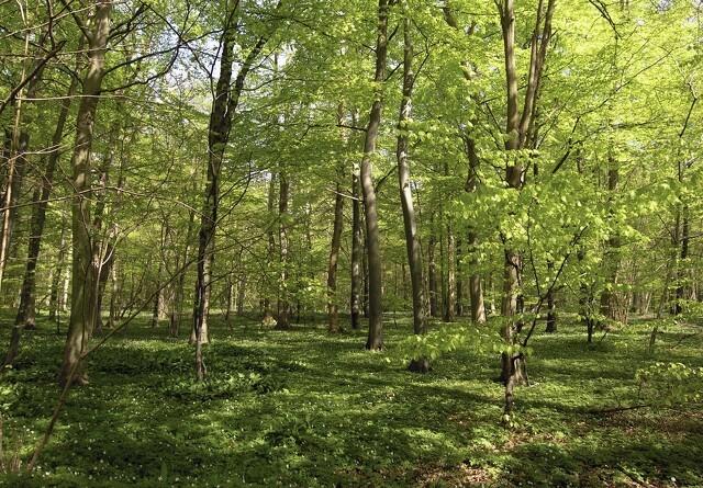 10 mio. kroner ekstra til urørt skov
