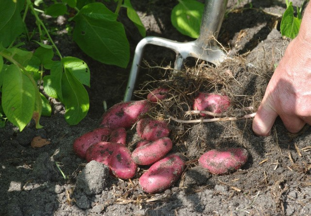 Dyrk din egne kartofler