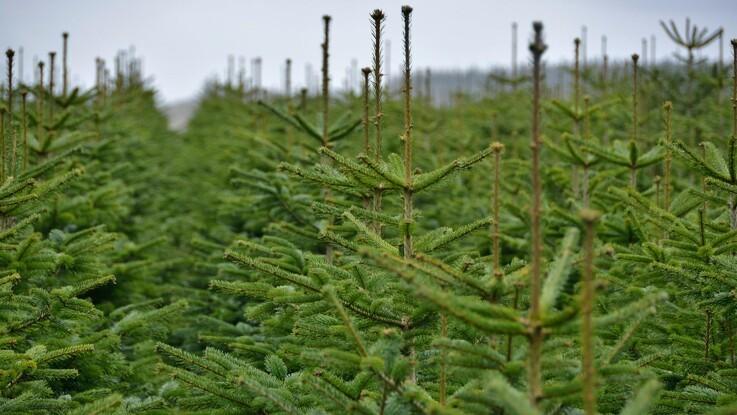 Sådan undgår man et alt for levende juletræ