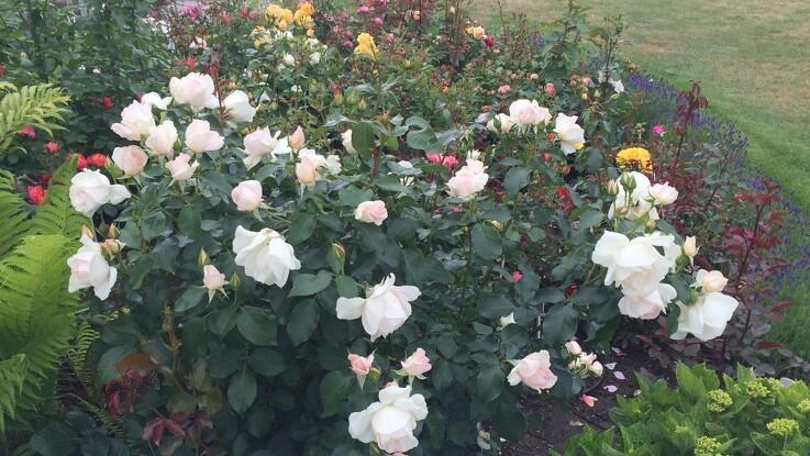 Plant rosen nu og nyd duften til sommer
