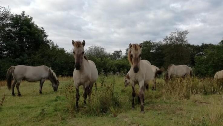 Vilde heste finder nyt hjem