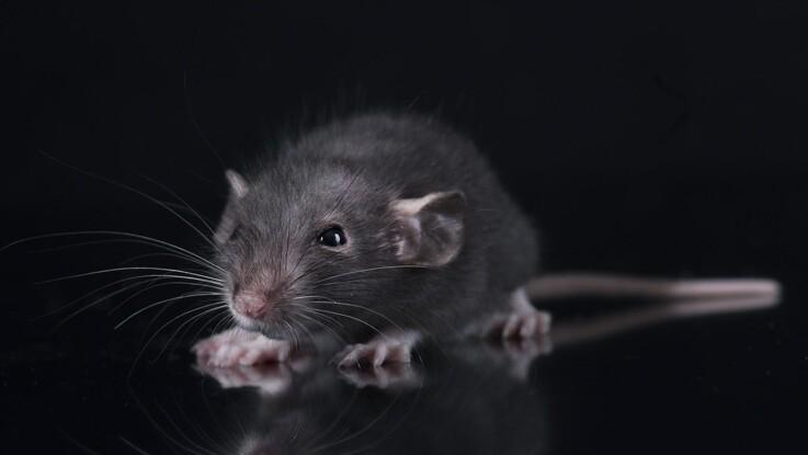 Eksperter slår rottealarm