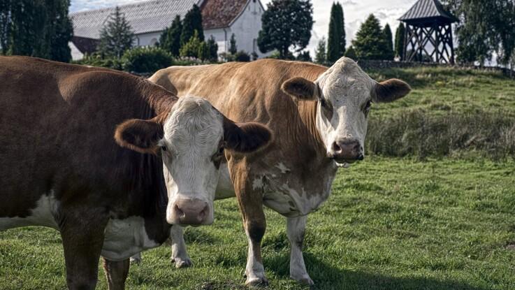 Nu bliver det lovligt at få slagtet dyr på gården