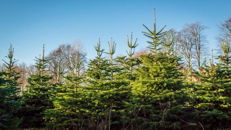 Juletræer kan give varme til  millioner brusebade