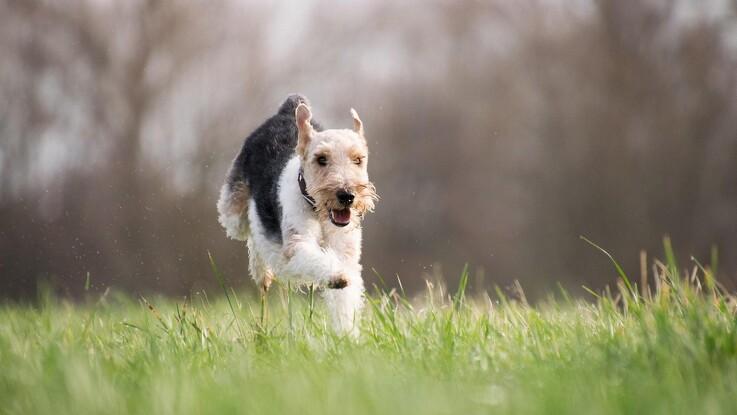 Pas på hanhunden, når tæven er i løbetid