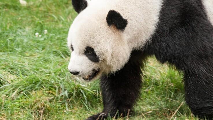 Panda-bæ kan være nøglen til grønt brændstof