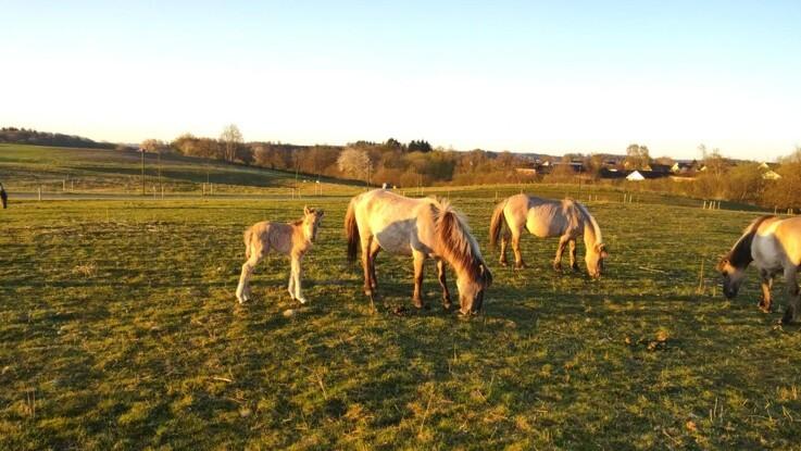 Succes - og nye føl - for de vilde heste i Tirsbæk Bakker