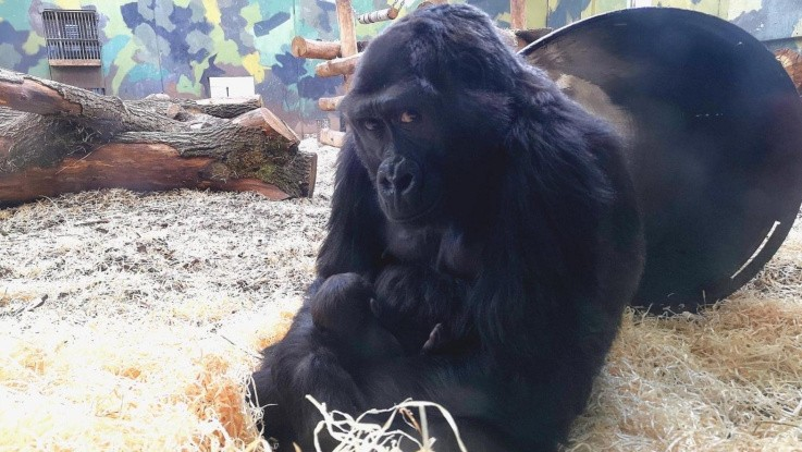 Nyfødt gorilla i Givskud Zoo