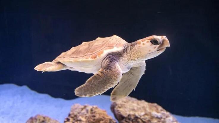 Strandet havskildpaddeunge flytter ind