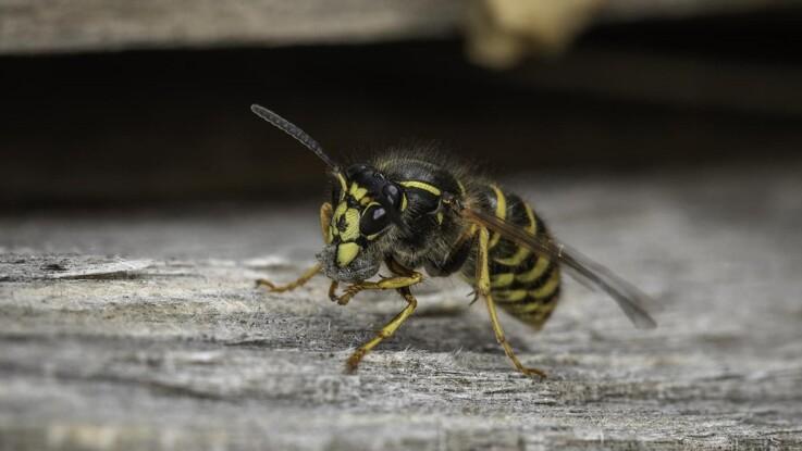Hvepseallergikere skal passe på i sensommeren