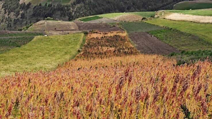 Quinoa tilpasses dyrkning i Danmark