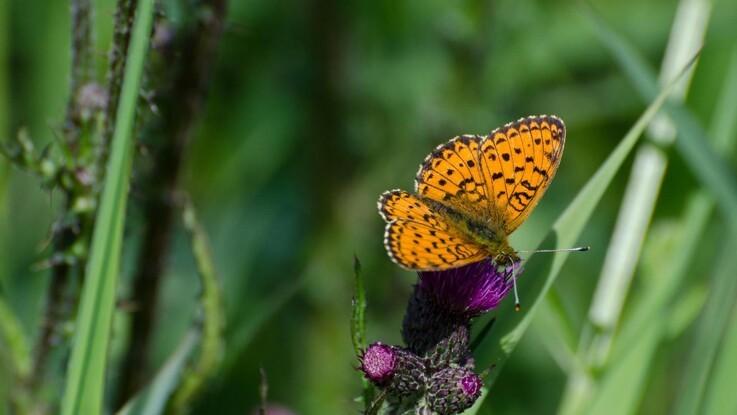 Sjælden sommerfugl har kun et enkelt levested tilbage på Fyn