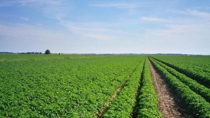 Ny kartoffel med 35 procent færre kalorier