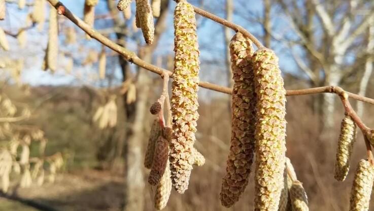 Årets pollensæson er begyndt