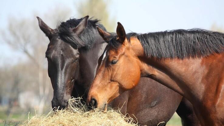 Markant stigning i mavesår hos heste