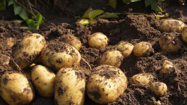 Færre kartofler havner på middagsbordet