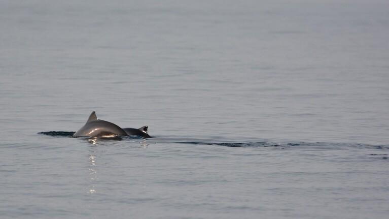 Oliejagt i Nordsøen giver ekko hos marsvin