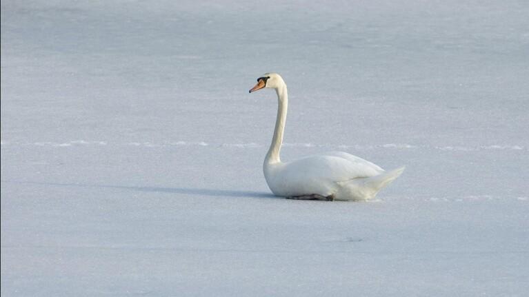 Svanen sidder ikke fast på isen