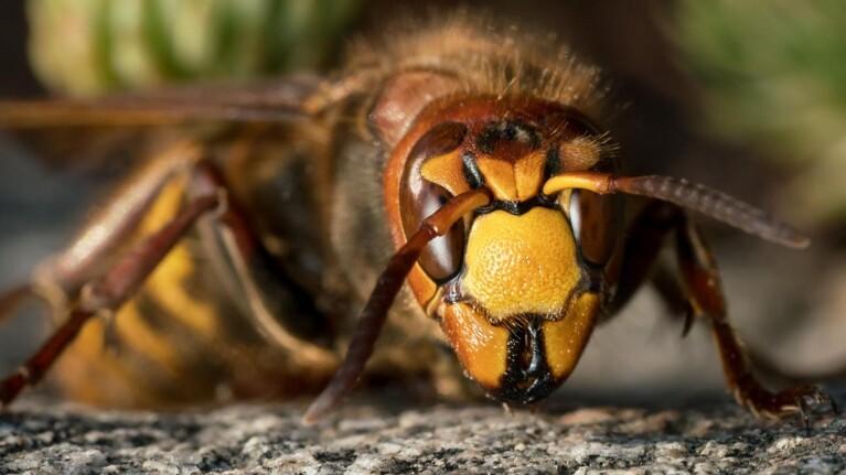 Tænk dig om, før du klasker hvepsen