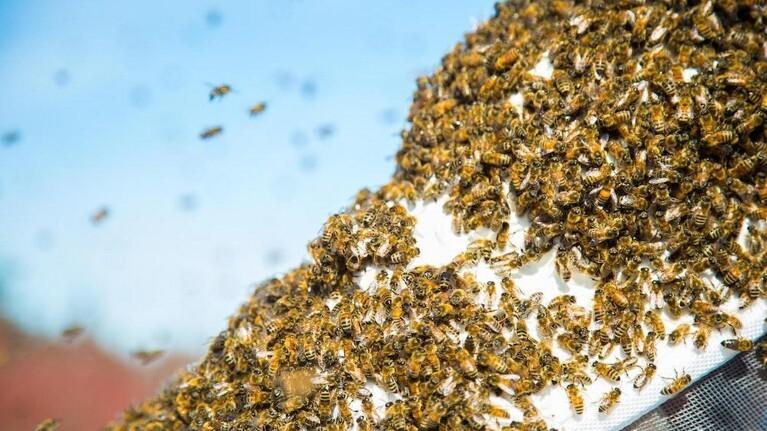 Sød sejr i sigte for danske biavlere