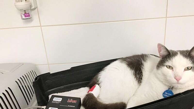 Katte får også højt blodtryk