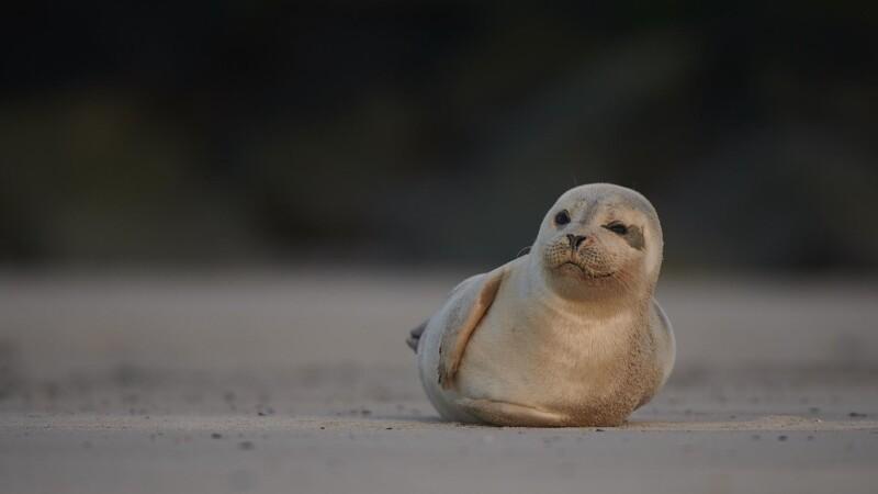 Gråsælerne i Vadehavet har det godt