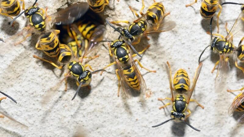 15 gange så mange hvepse end normalt