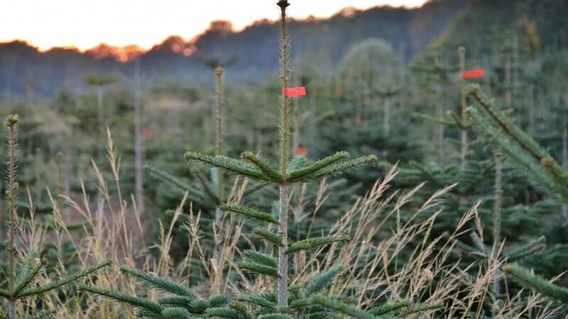 Juletræets juleaften ligger i august