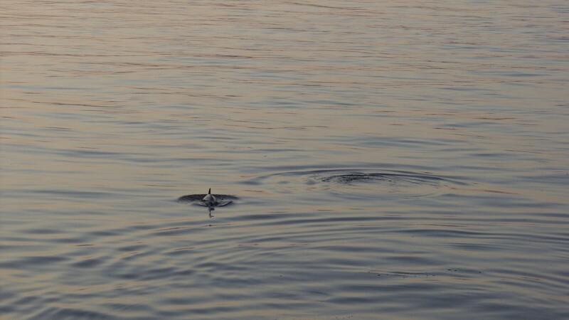 Ny jagt på viden om Østersøens truede hvaler